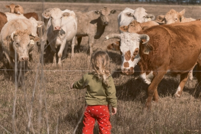 Cows observing a child