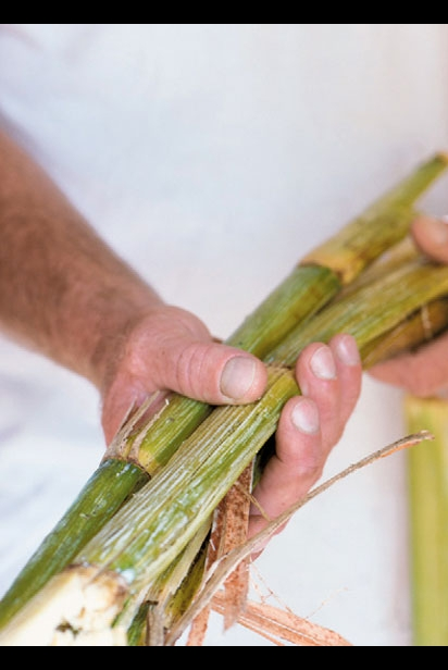 Holding a bunch of sugarcane